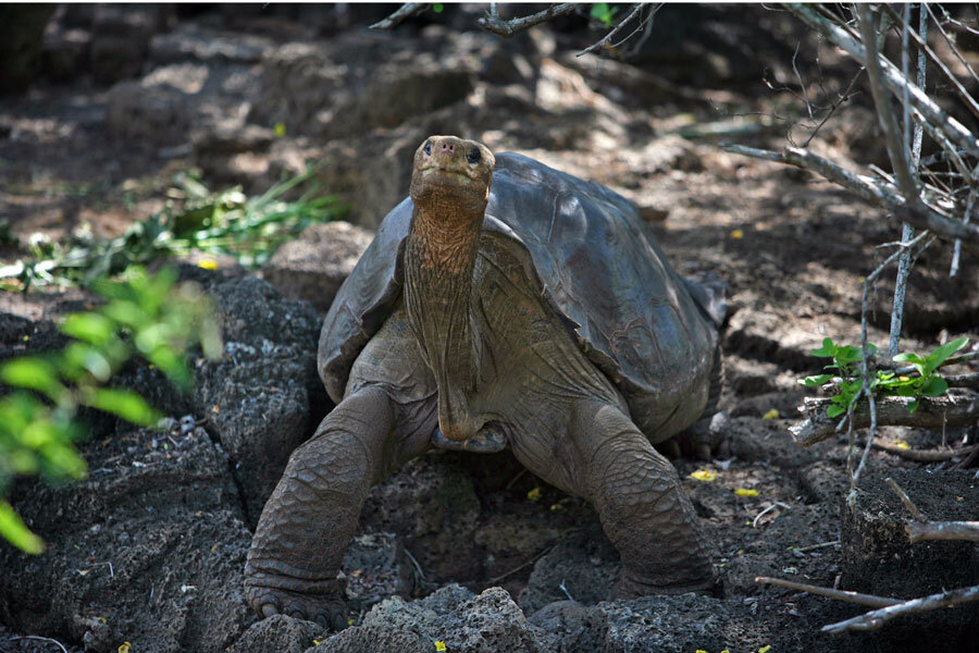 pinta island tortoise chelonoidis abingdoni 2012 csmonitor com