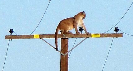 Mountain lion has Calif. neighborhood's attention from atop power pole