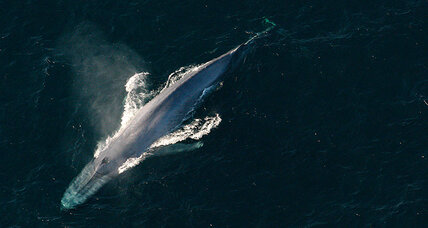 How do blue whales get so big? By being picky eaters, say scientists.