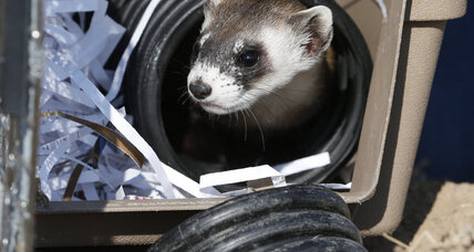 Endangered ferrets find unlikely home in former toxic waste site