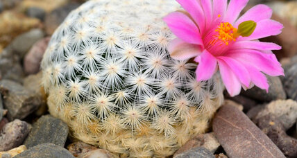 Nearly one third of all cactus species are threatened by extinction