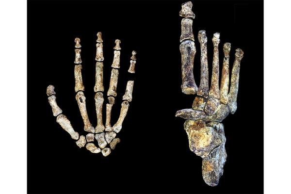 Homo Naledi How Ancient Hands And Feet Shed Light On Human