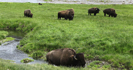 Why Yellowstone National Park visits are hitting record highs