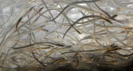Why wildlife officials aren't listing American eels as endangered