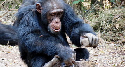 Chimps and tools: The boys play, while the girls learn