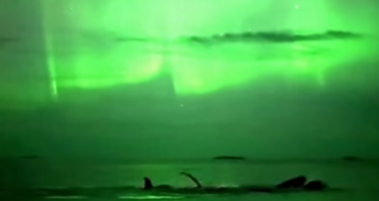 Stunning video of humpback whales bathed in Northern Lights (+video)