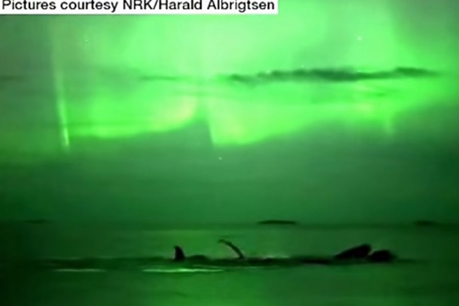 Stunning video of humpback whales bathed in Northern Lights