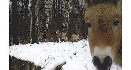 Wildlife thriving in abandoned Chernobyl zone