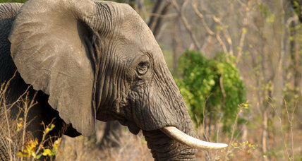 Wildlife advocates decry killing of mature bull elephant: Another Cecil?