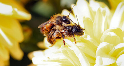 How a bee's buzz signals hometown, attracts females