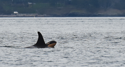 Conservationists welcome Puget Sound's sixth baby orca
