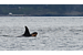 Conservationists welcome Puget Sound's sixth baby orca (+video)
