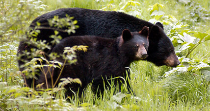Is Florida's black bear hunt ethical?