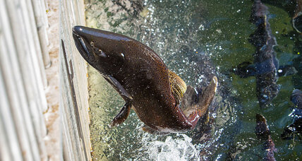 Looking for wild salmon? That may be a tall order at many restaurants, grocers.