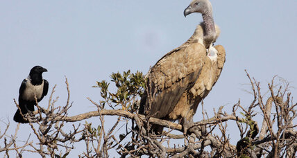 Threatened African vultures may be ugly, but we need them