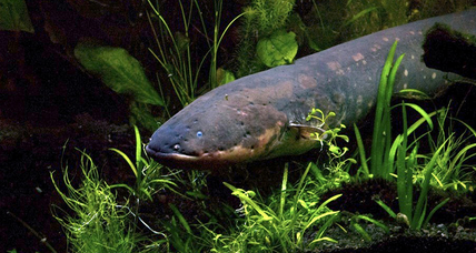 Electric eels' secret weapon: Curl before shocking prey