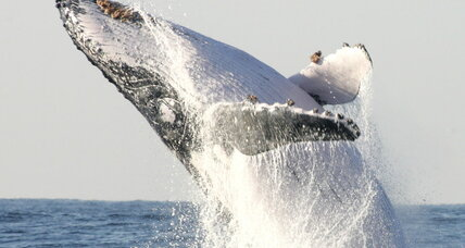 Tangled humpback: Can rescuers save this whale?