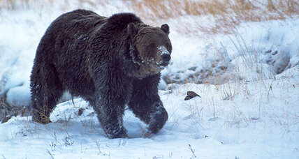 Why hunting of Yellowstone grizzly bears could resume