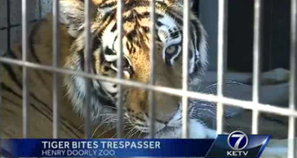 Tiger bites woman in Omaha, Internet erupts with concern ... for tiger (+video)