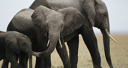 Elephant poaching: Breakthrough in retrieving fingerprints from ivory