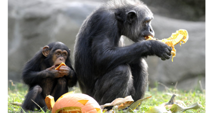 Can Dutch chimps learn a Scottish accent? Scientists aren't so sure.
