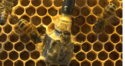 Vibrating bees give dizzying clues about their hives