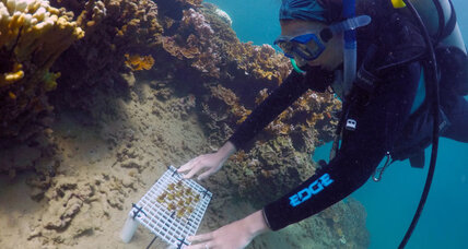 Can 'super coral' save the world's reefs?
