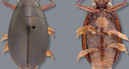 New beetle species may already be endangered