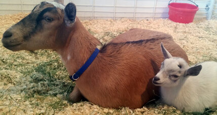 'Kid'-napping ends when baby goat reunited with its mother
