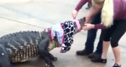 Watch a petite dental hygienist wrestle an 800-pound gator. Who won?
