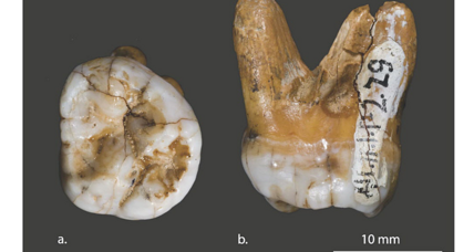 Two ancient teeth reveal clues about humanity's mysterious cousins