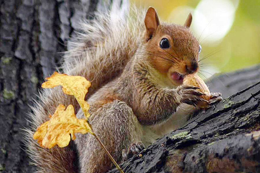 How the fox squirrel got off the endangered species list ...