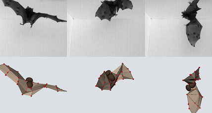How do bats land upside down? Check out their heavy wings