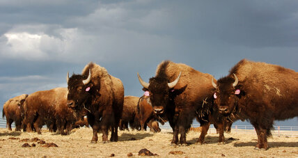 Yellowstone National Park proposes killing 1,000 bison. Why?