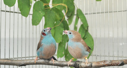 Some birds 'tap dance' to woo potential mates, say scientists