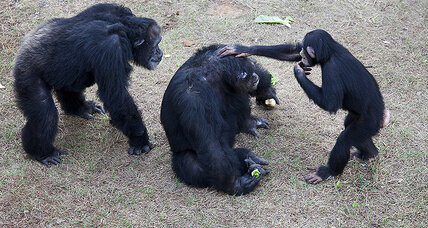 Why fewer chimps are being used as guinea pigs