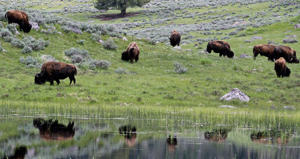 Why Yellowstone Park must kill 1,000 wild bison this winter