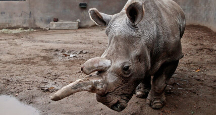 Only three northern white rhinos left. Can we save the rhinos?