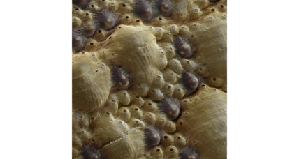 This marine mollusk is covered with eyes made of armor