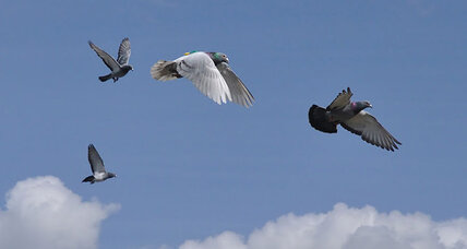 For homing pigeons, it takes speed to lead