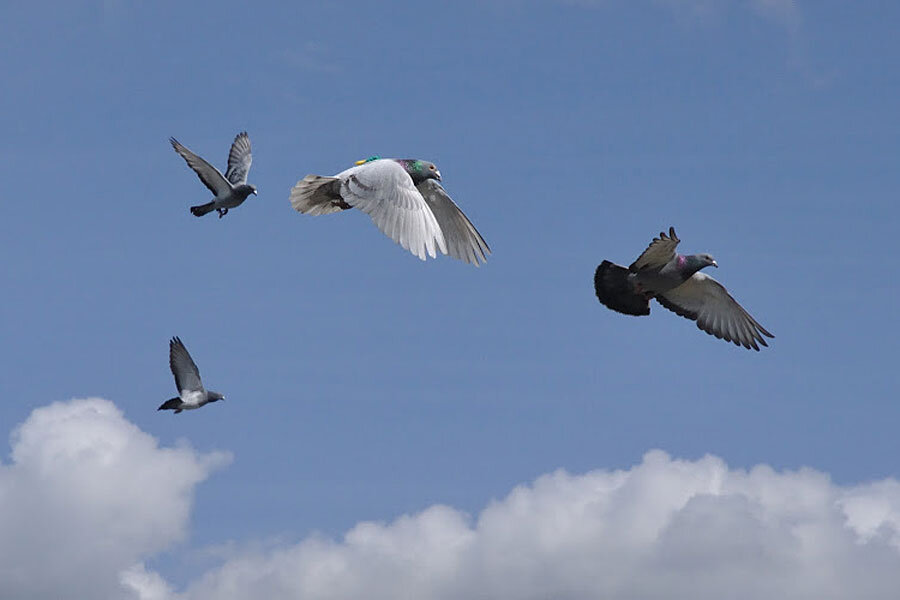 For homing pigeons, it takes speed to lead - CSMonitor com