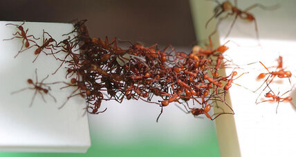 How army ants use their own bodies to build better bridges