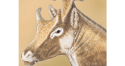 Is this strange, three-horned extinct creature a giraffe cousin?