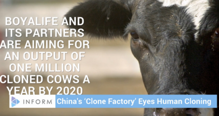 China to build massive cow cloning facility: Are cloned humans next?