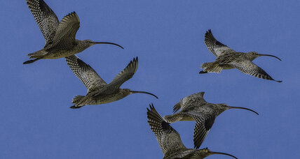 Migratory birds are losing ground. Study cites key areas needing protections.