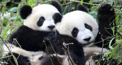 To save the species, pandas need love, not just a mate