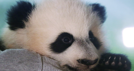 Baby panda celebrity, Bei Bei, preparing for his first public appearance