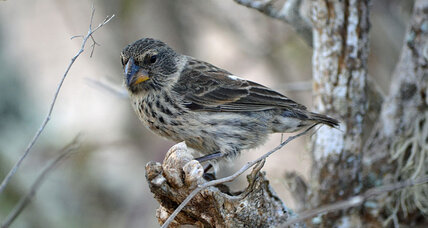 How scientists may save Darwin's Galápagos finches from extinction