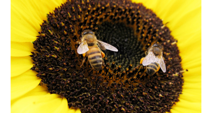 Decline of wild bees imperils US crops