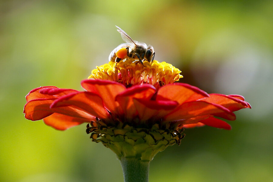 Wild bee decline study: How farmer's friends are receiving ... Uc Davis Campus Map Beekeeping on
